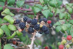 Ireland_House_Nature_Berries.jpg
