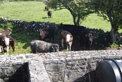 Ireland_House_Nature_Neighbor_Cows_2.jpg