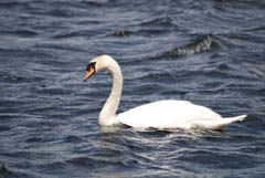 Ireland_House_Nature_Swan.jpg